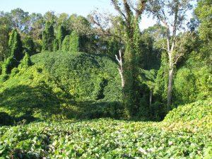 bosque de kudzu